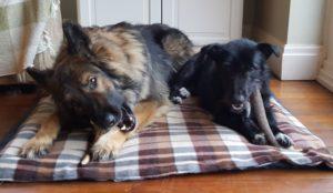 Foster Dog Jamie with Staglers Dog Chew