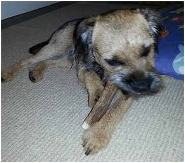 Border terrier with staglers deer antler dog chew