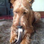 Staglers deer antler dog chews loved by Terriers