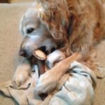 Retriever with Stagler deer antler dog chew