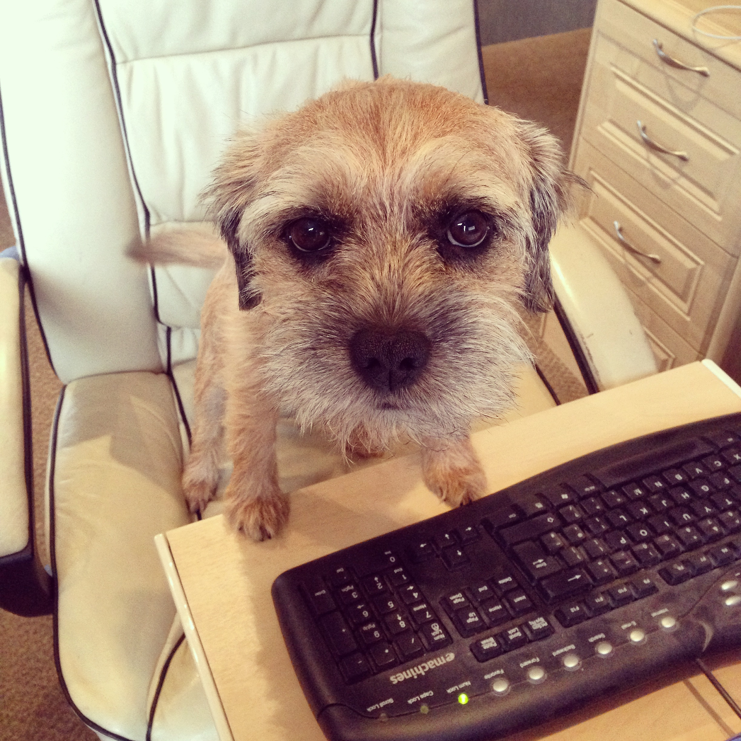 Border Terrier Social Distancing with a Keyboard
