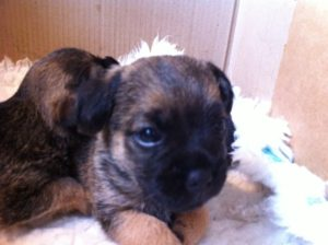 Biscuit the border Terrier at 8 weeks puppy