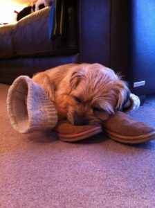 Biscuit the Border Terrier Sleeping on owners boots