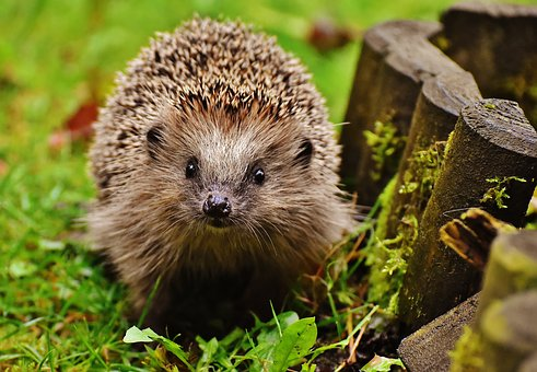 small hedgehog in garden free pixabay free image