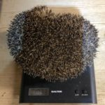 Hedgehog at winter weight ready for hibernation