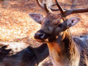 red deer image