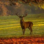 Stag deer antler Pixabay free image